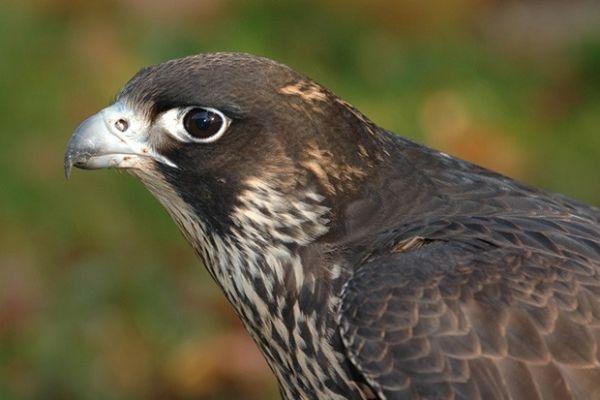 Хищная птица балобан из семейства соколиных распространён в горах на юге Сибири. Этот редкий вид ведёт кочующий образ жизни и лишь изредка проявляет признаки оседлости.