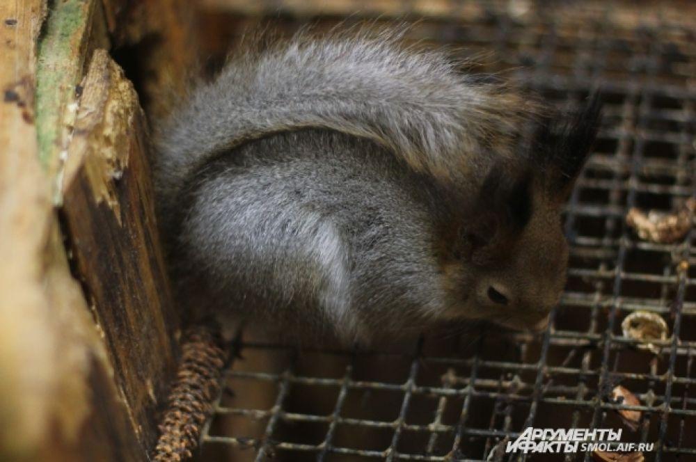 В естественной среде обитания белки на зиму делают серьезные запасы.