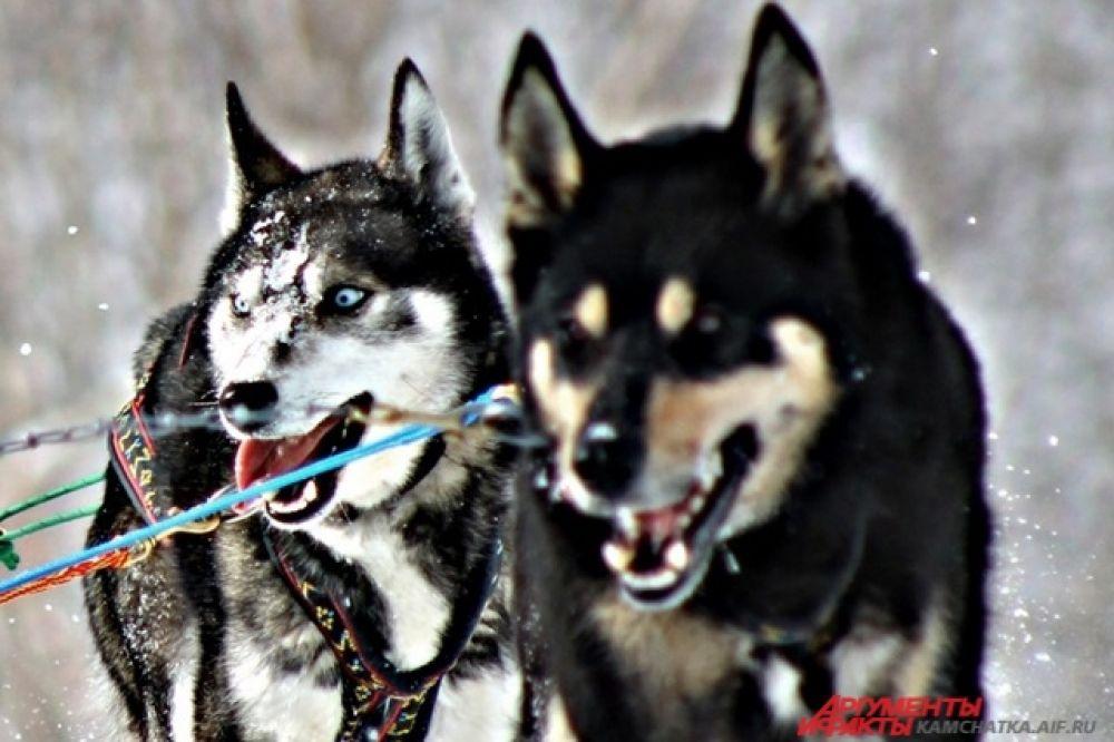 Выиграет тот, чьи собаки выносливее и терпеливее.