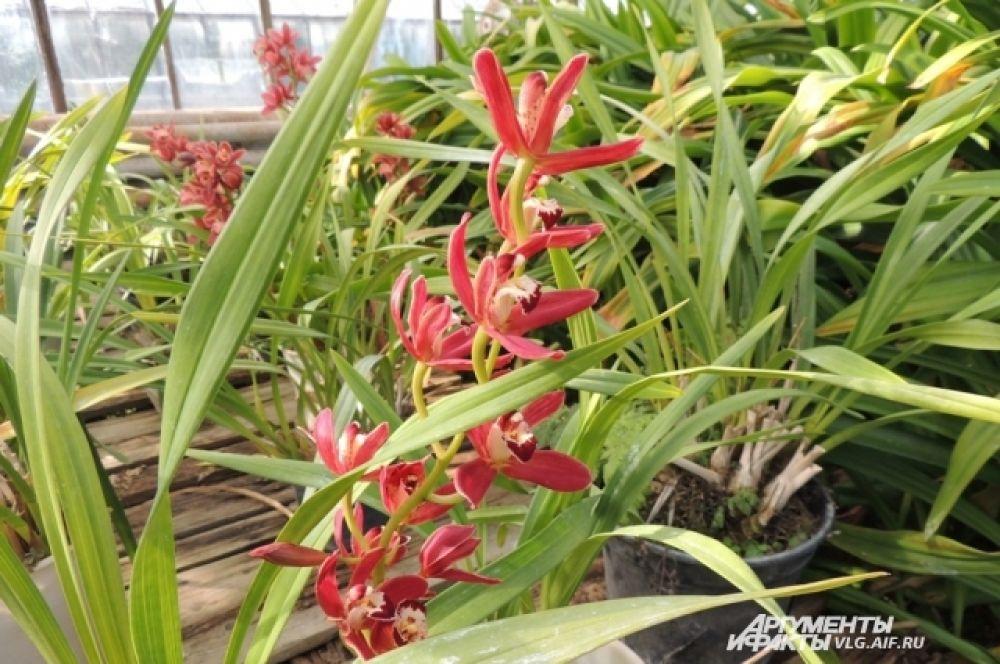 Одни из самых желанных цветов на любой праздник – орхидеи.