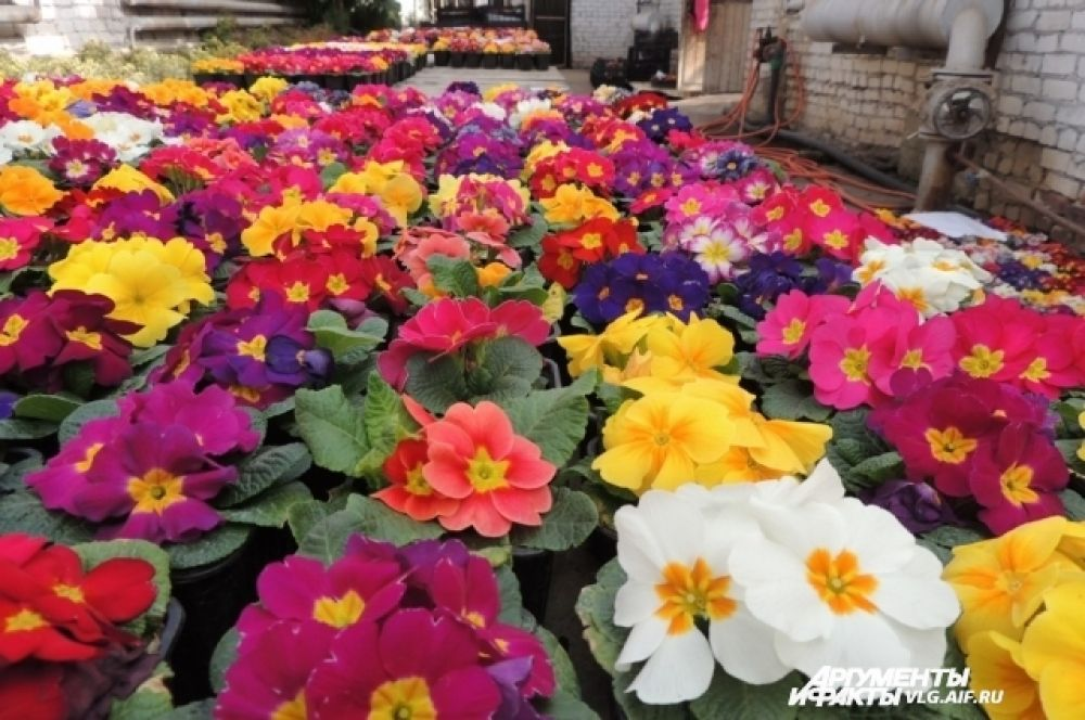 Плантация цветов примулы.