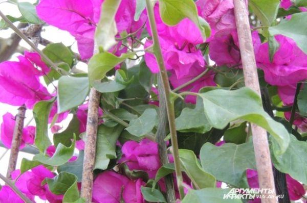 Вечнозеленая бугенвиллея.