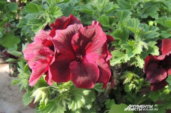 Еще одна королева ботанического сада – пеларгония.