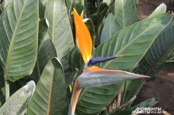 Этот цветок, похожий на диковинную птичку, так и называется «райская птичка», а по-научному – стрелиция.