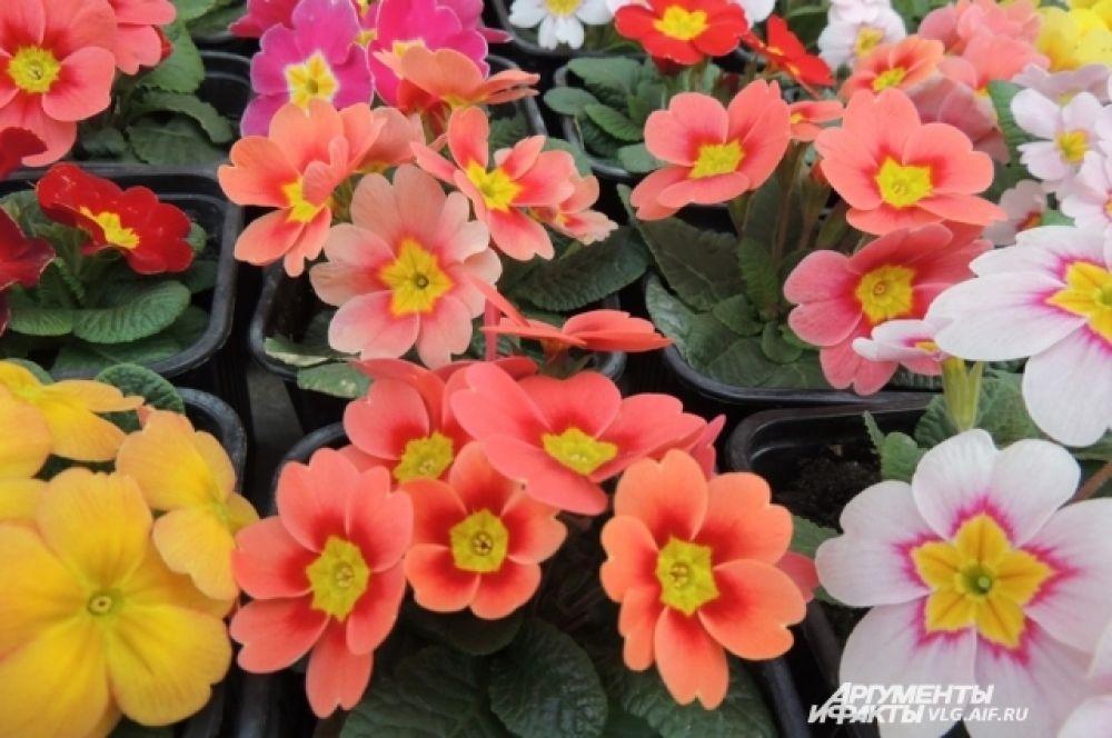 В Волгоградском ботаническом саду свыше десятка примул разных расцветок.