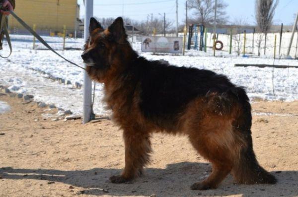 Немецкой овчарке Нике 4,5 года. Она очень добрая, активная и добродушная по отношению к другим животным.