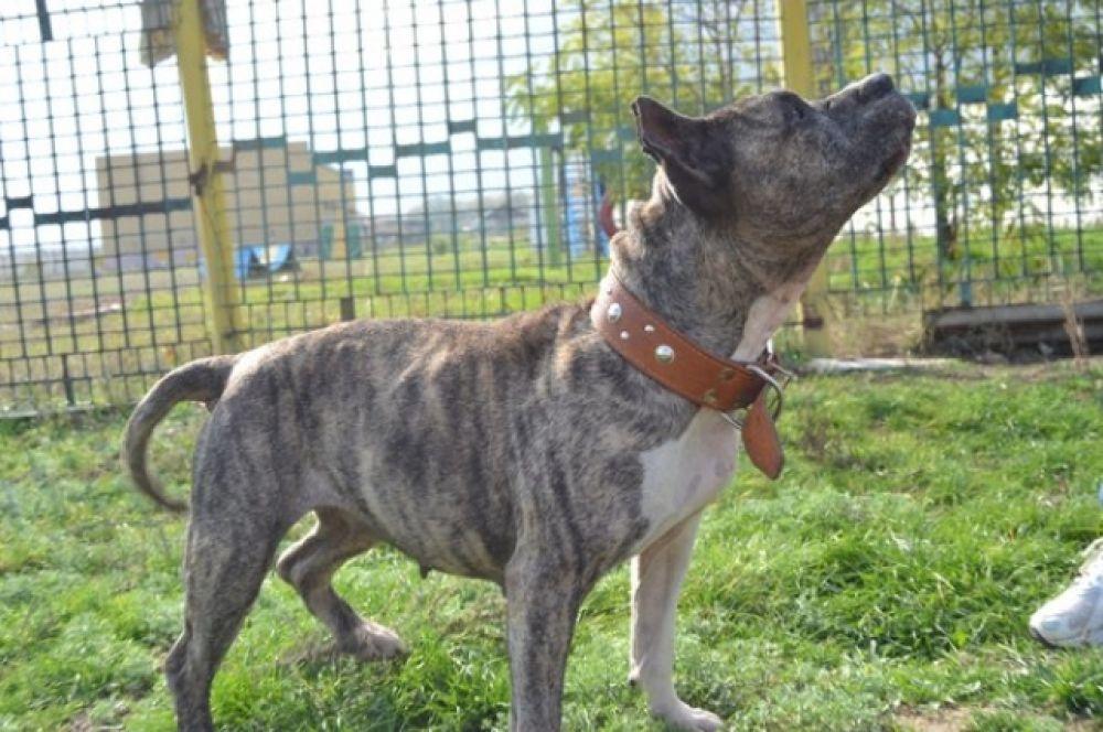 Американский стаффордширский терьер Улана – собачка уже в возрасте. Несмотря на предрассудки по поводу породы, Улана очень добрая и отзывчивая и совсем не агрессивная.