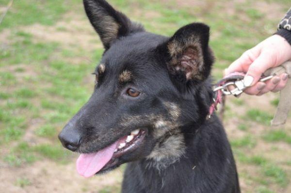 Сотрудники приюта нашли Шанди на обочине дороги – её сбила машина. Но сейчас, не смотря на все трудности, собака полностью восстановилась, она активна, здорова и ищет новых хозяев.