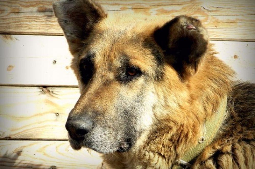 Грант – крепкий и смелый пес. Ему 6 лет. Отлично подойдет для охраны подворья или частного домовладения.