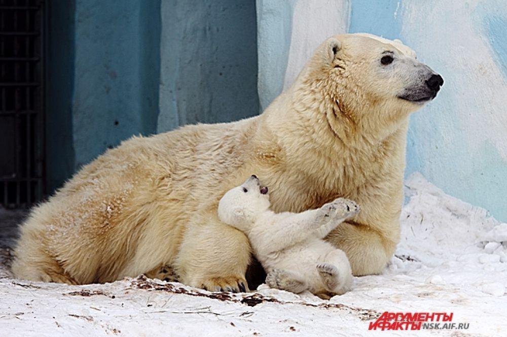 Материнский инстинкт проснулся у медведицы Герды в ноябре прошлого года.