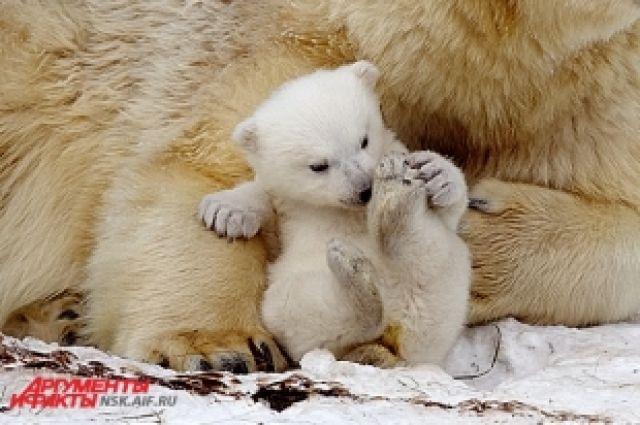 Прибавления в семействе белых медведей в Новосибирском зоопарке ждали с 70-х годов.