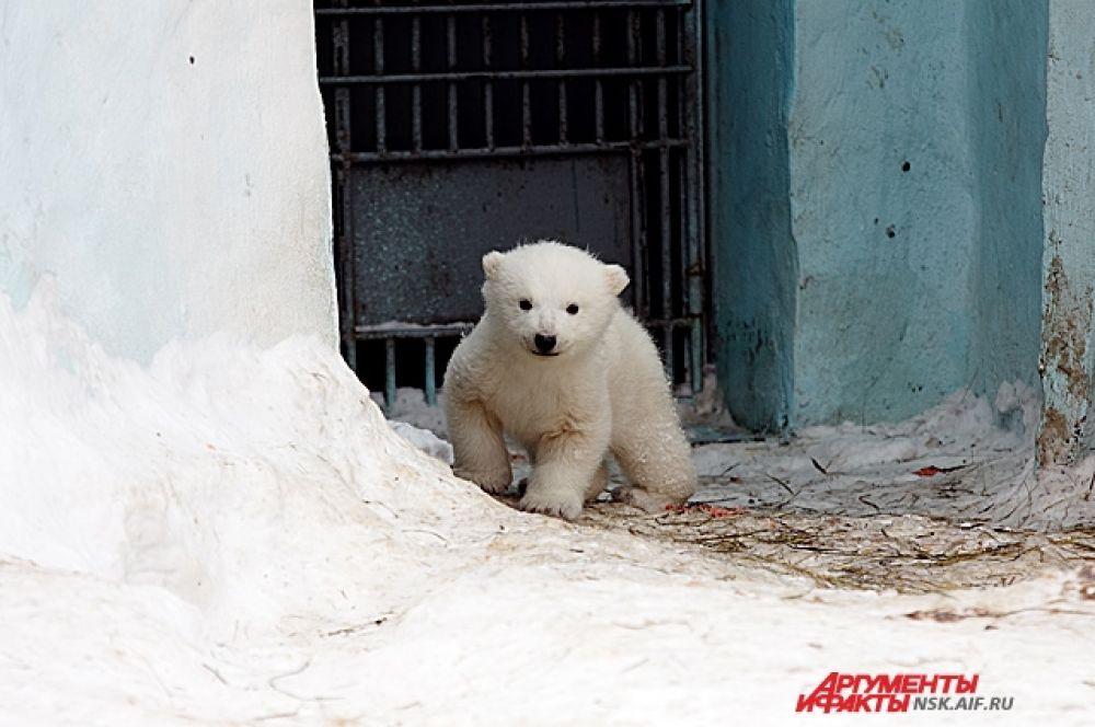 Последний раз белые медведи радовали Новосибирский зоопарк пополнением еще в 1970-х.
