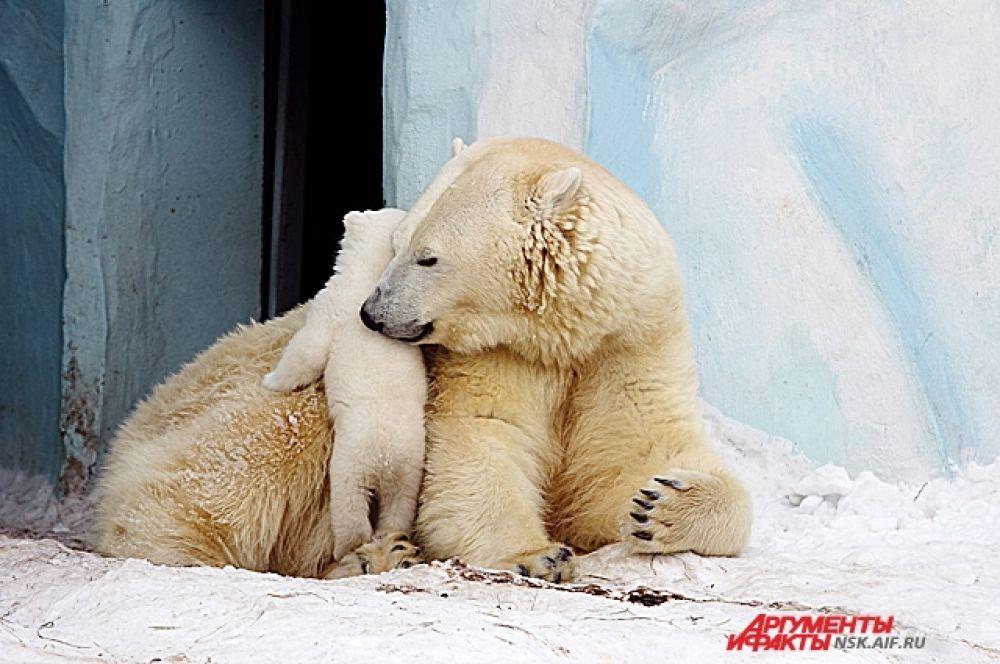 Медвежонок  не отходит от мамы ни на шаг.