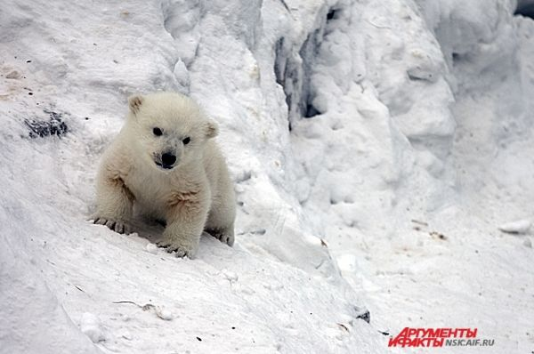 В конце марта новосибирцы узнают - кто родился у белого семейства - мальчик или девочка.