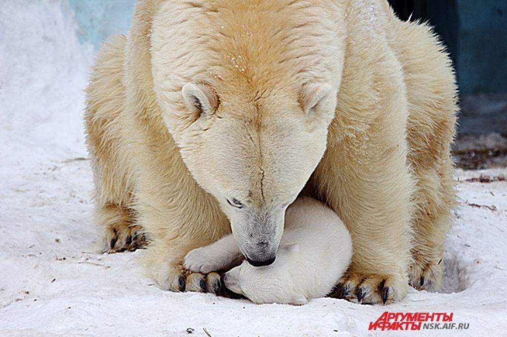Долгое время знаменитую пару зоопарка – Кая и Герду – считали слишком молодой для образования семьи.