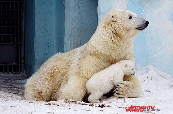 Чаще всего медведица выводит детеныша  на улицу по утрам.