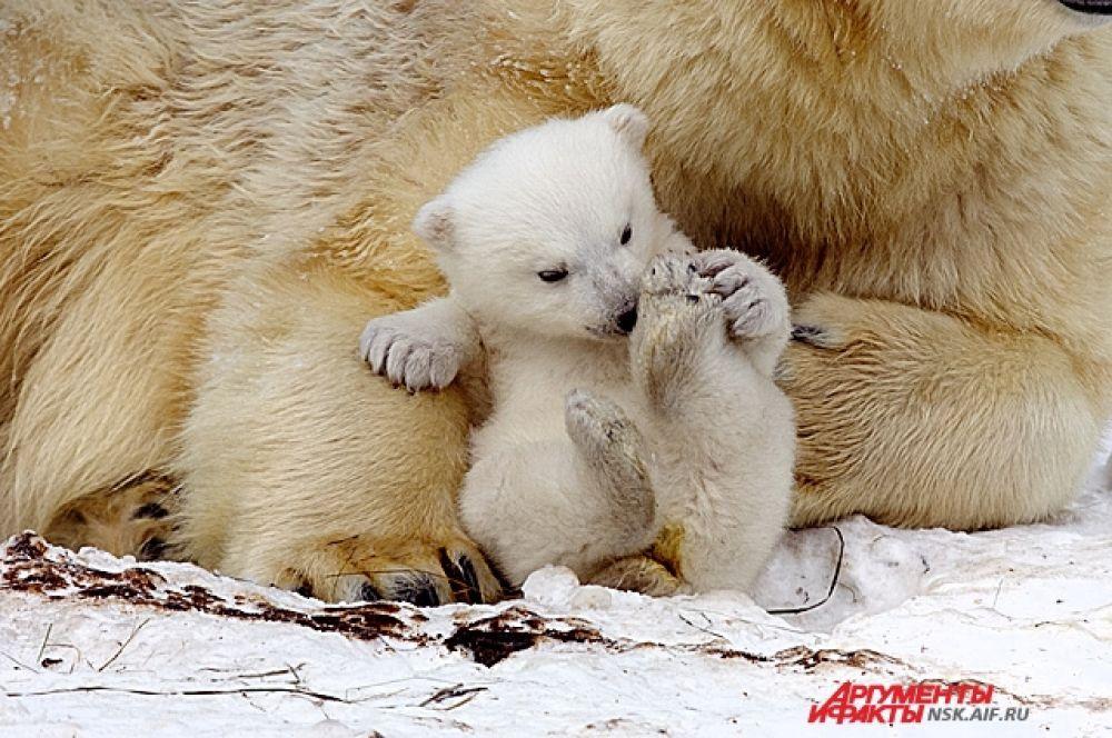 Появление детеныша у новосибирских белых медведей стало долгожданным событием для всего города