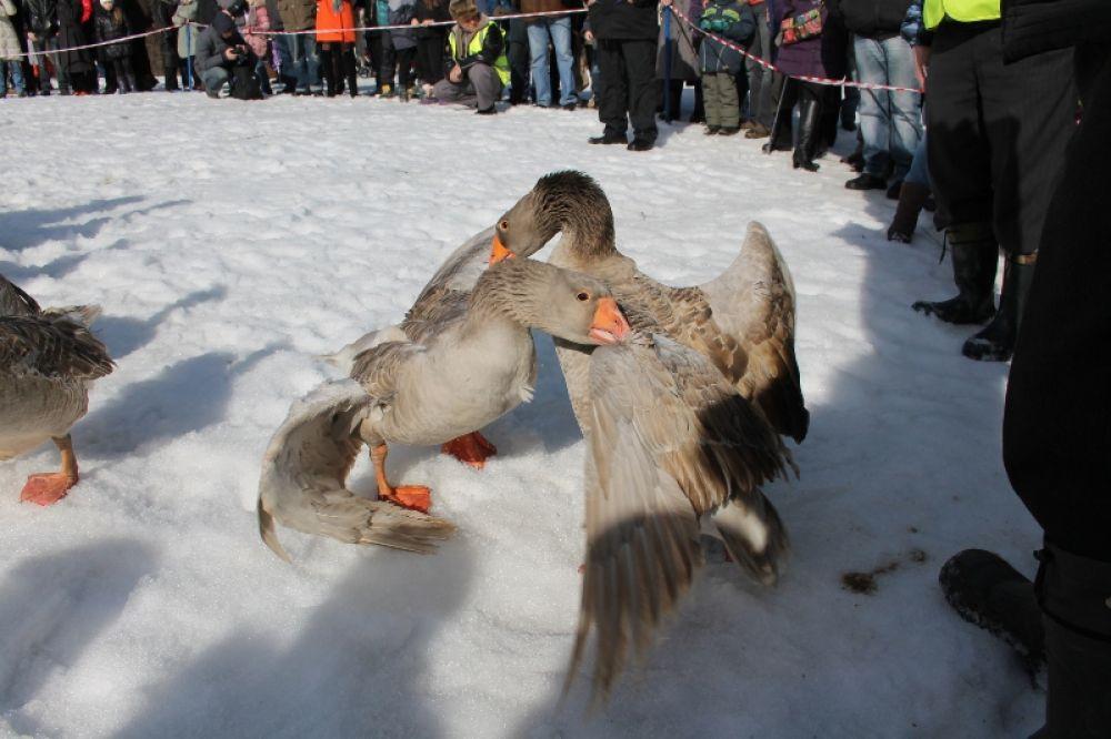Старинной русской забаве - гусиным боям - больше 300 лет