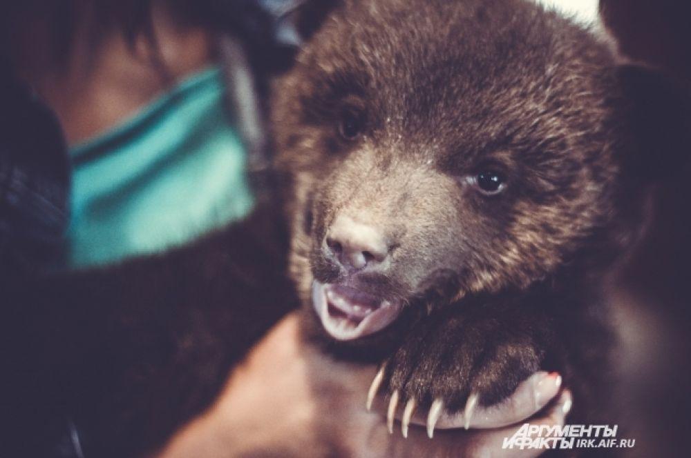 Рождаются медвежата очень маленькими. Не больше новоржденного щенка.