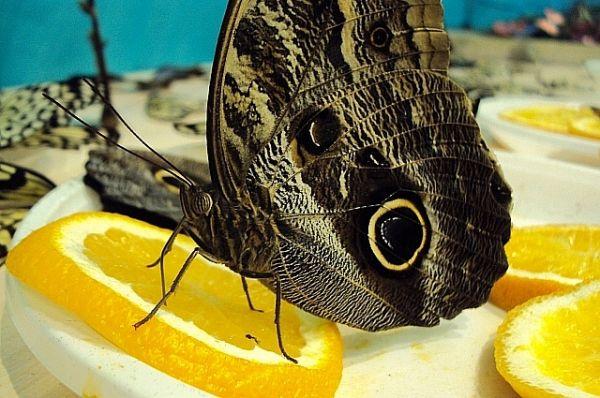 Тропические бабочки очень любят апельсиновый нектар