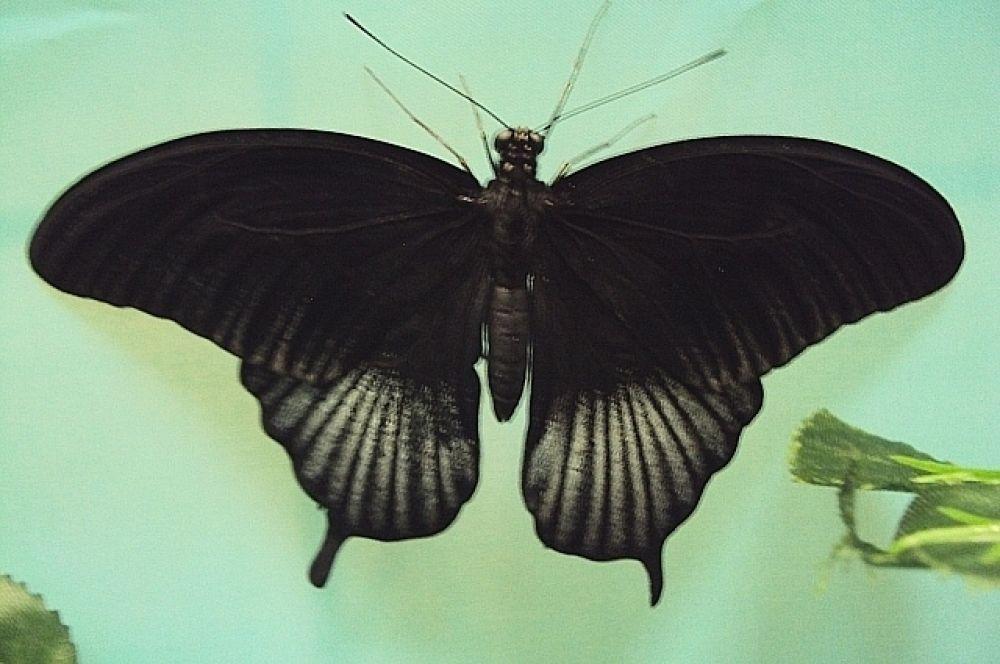 Размах крыльев тропических бабочек достигает 10-13 см