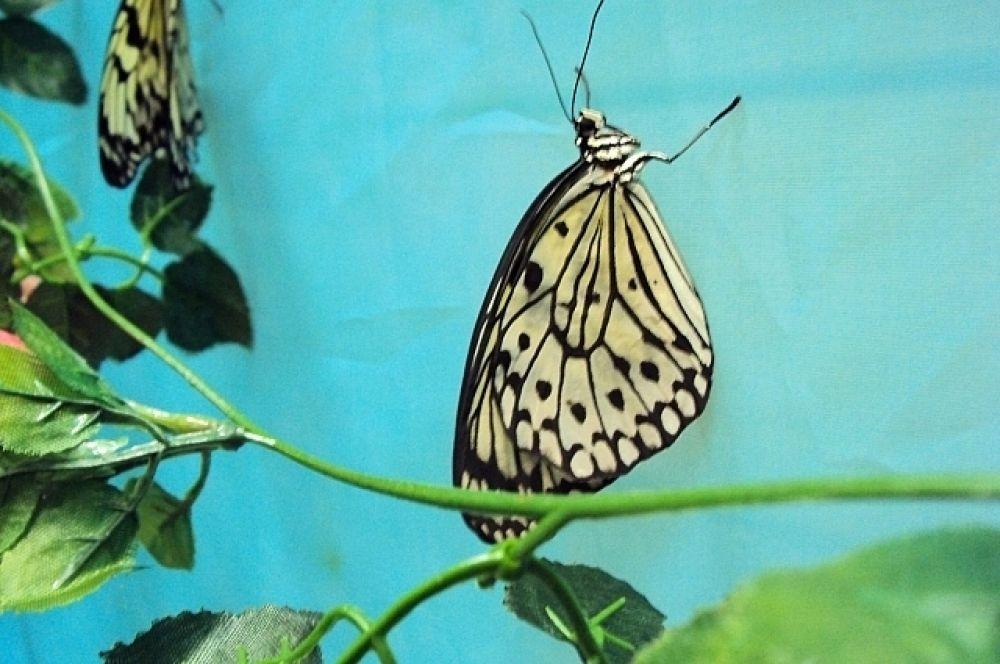 """Этот вид называется """"Идея Белая"""". Нежная, хрупкая тропическая бабочка Идея Белая с необыкновенным узором. Четкие, словно графические линии черного цвета изысканно смотрятся на ослепительно белом фоне крыльев. В лучах солнца виден только черный рисунок, а белые крылья просвечиваются."""