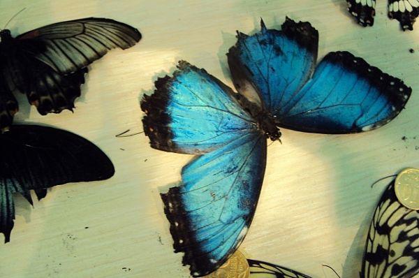 Морфо Пелеида. Яркий цвет крыльев Синего Морфо - результат микроскопических частичек на крыльях, которые отражают свет, в результате этого появляется блестящий переливающийся синий цвет.