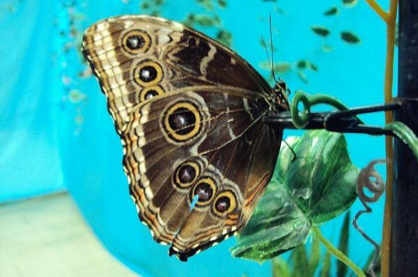 Калиго Мемнон. Этих бабочек иногда ошибочно называют ночницами, или совками, потому что крылья снизу у них украшены большими глазками, похожими на глаза совы в темноте. Эти глазки отпугивают хищников и отвлекают их внимание от жизненно важных частей тела бабочки. При опасности часто <трещит> крыльями или претворяется мертвой: прижимает лапки к тельцу и замирает.