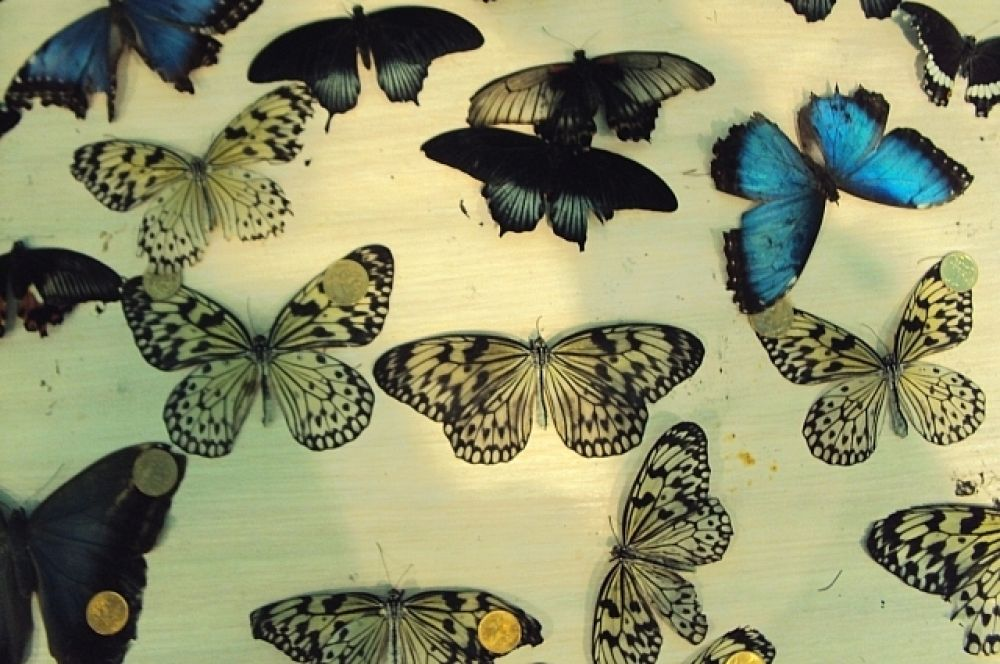 Срок жизни этих восхитительных насекомых очень невелик - от двух дней до двух недель.