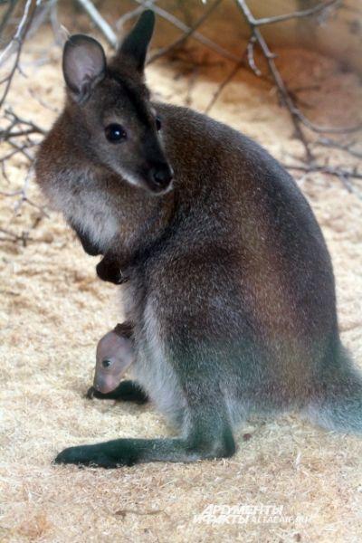 Теперь кенгуру Чаку, которого все считали самцом, предстоит выбрать другое имя.