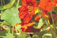 Цветки настурции полезно добавлять в салаты.
