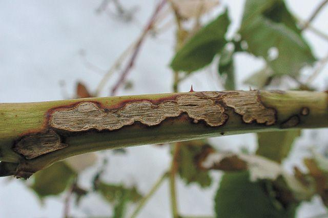 Больная ветка малины