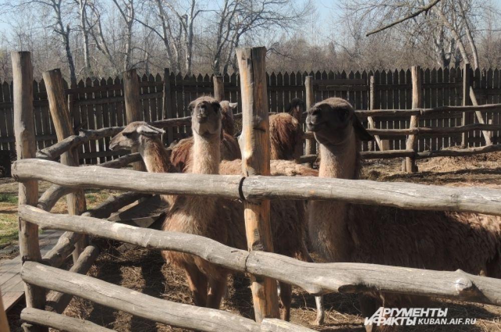 Ламы с нетерпением ждут кормления.