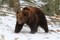 Омичи смогут увидеть пробуждение медведей.