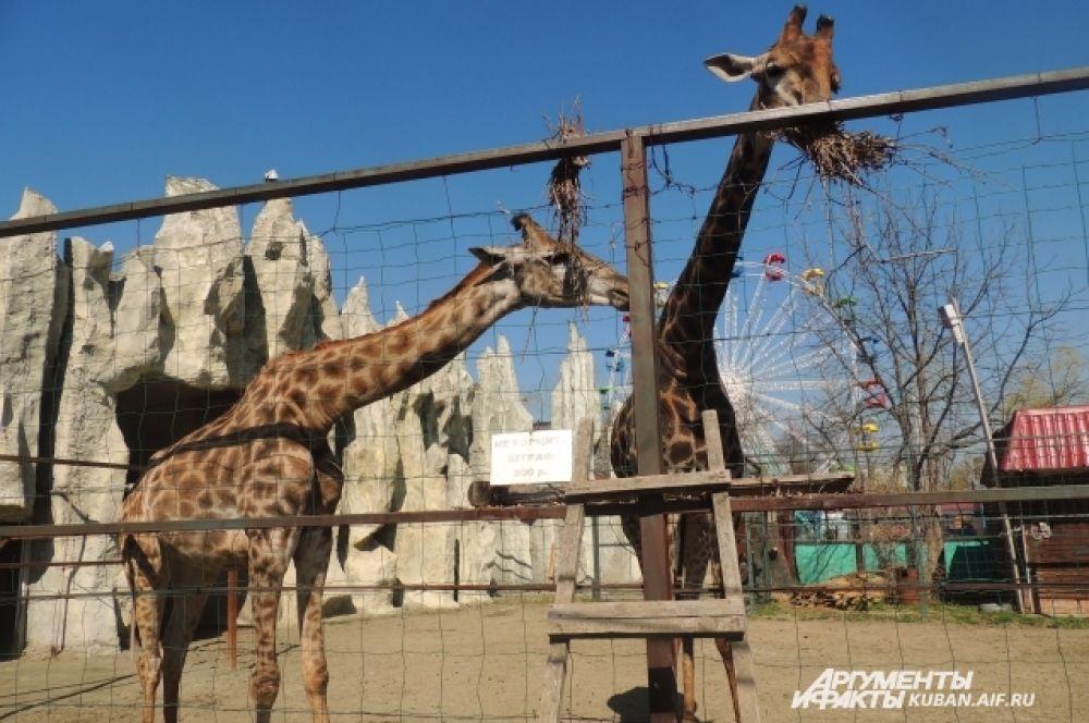 Любящие жару африканские жирафы вышли в летний вольер.
