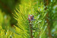 В Крым повезут саженцы деревьев сибирских пород.