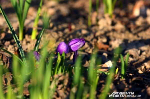 Фиолетовый шафран, он же крокус,одним из первых чувствует тепло, и цвести начинает одним из первых.