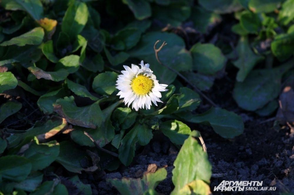 Маргаритки не вполне можно назвать первоцветами - они активно цветут и летом.