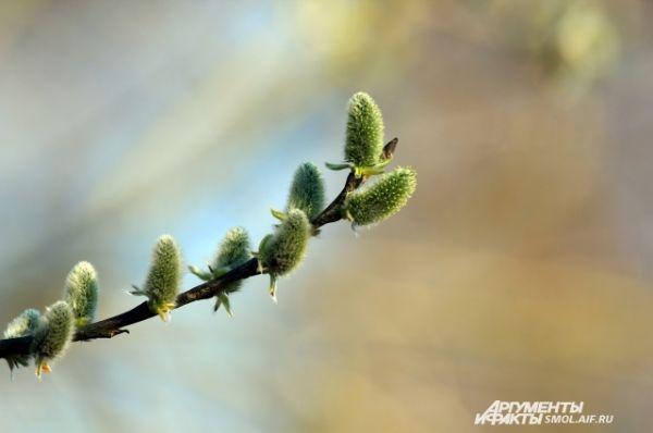 Раньше времени в этом году зацветают ива и верба.