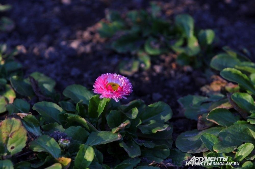 Кое-где в Смоленске уже цветут маргаритки.