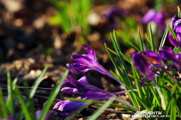 Крокусы - одни из самых ярких первоцветов.