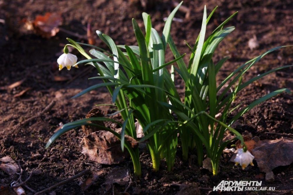 Ландыши еще называют виновником - виновником весны.