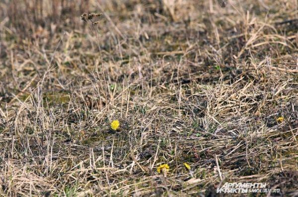 Сквозь сухую прошлогоднюю траву пробирается мать-и-мачеха.