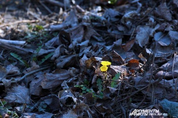 Мать-и-мачеха - единственный из первоцветов, для которого цветение в марте - норма.
