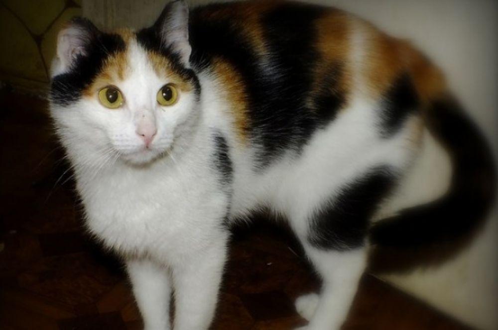 Бабочке 1,5 года. Она активная и самостоятельная кошка. Куратор:  8-927-531-93-43