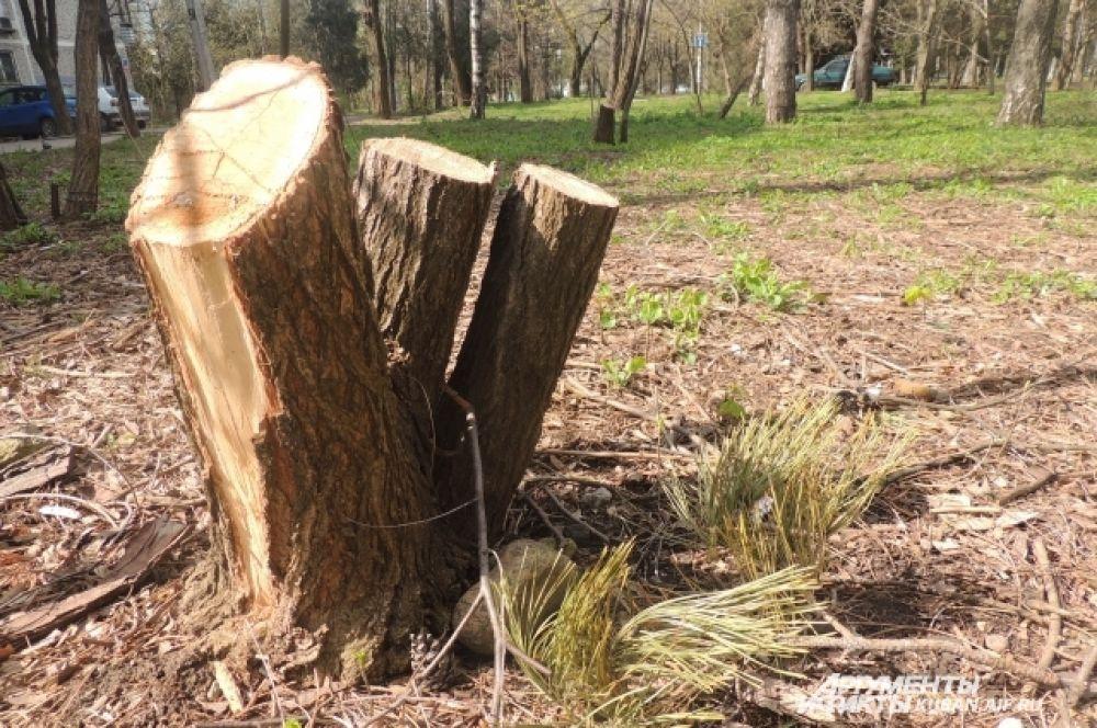 Все, что осталось от высоких деревьев после ледяного дождя.