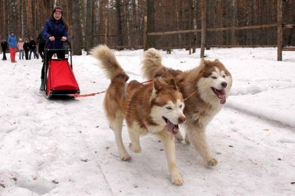 Собачья упряжка – традиционный вид транспорта народов севера
