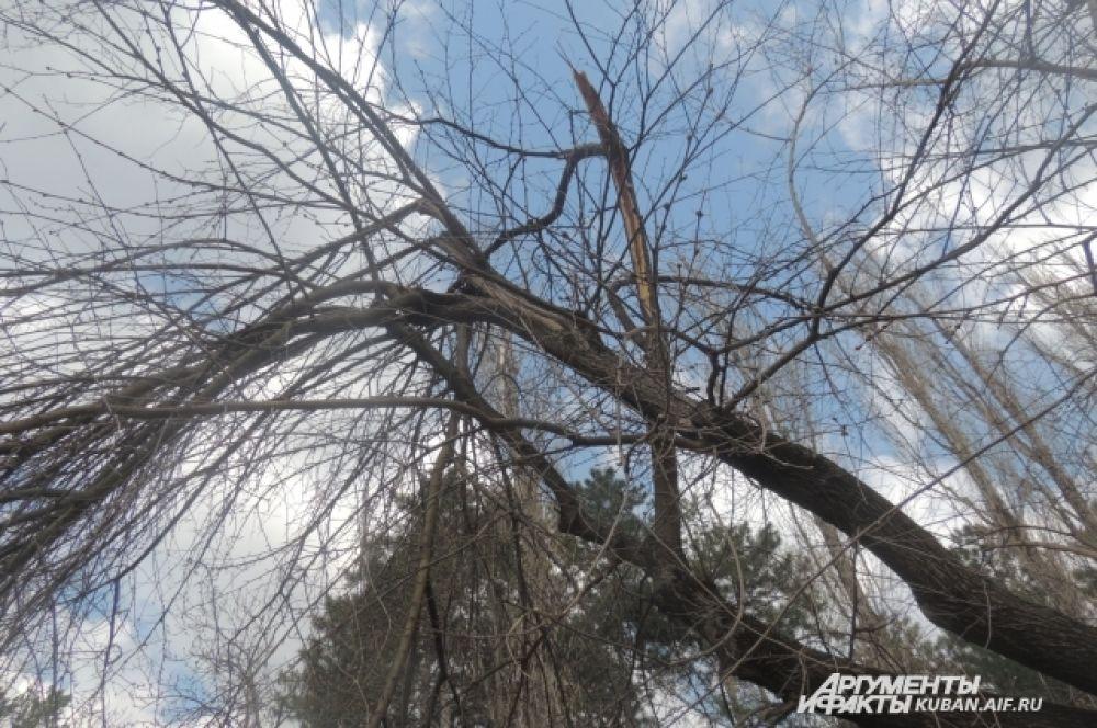 Стволы деревьев еще помнят январский ледяной дождь.