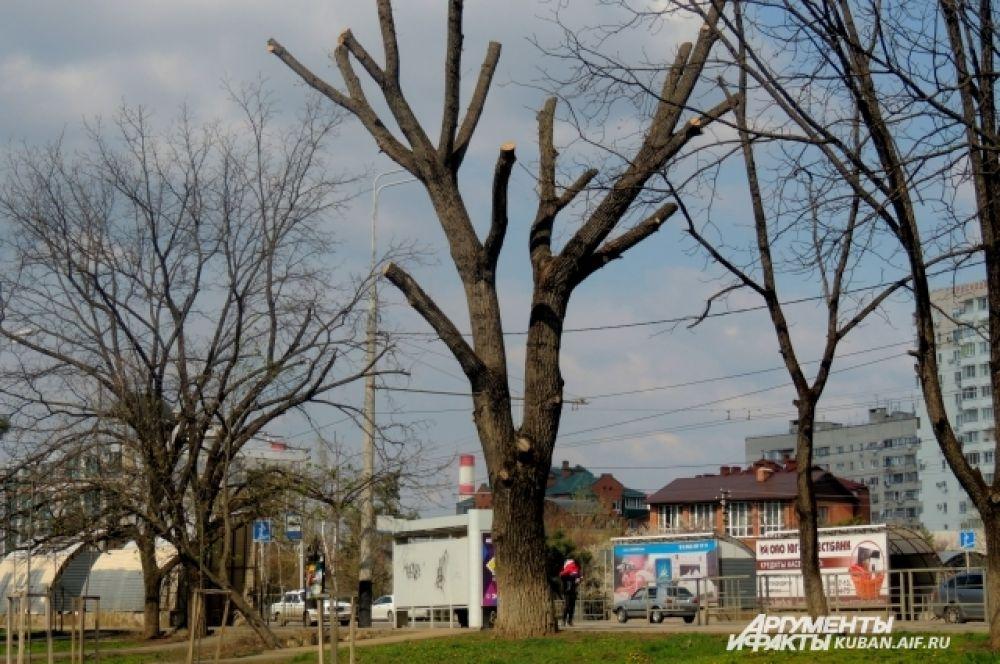 Не все деревья зазеленели этой весной на Кубани.