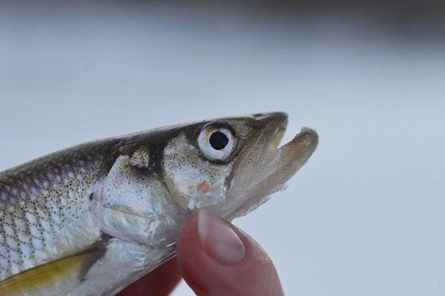 Драть рыбу